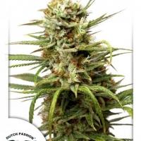 Auto White Widow Auto Feminised Cannabis Seeds | Dutch Passion