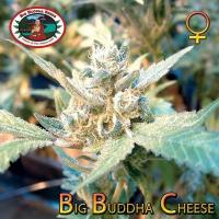 Cheese (x Cheese) | Big Buddha Seeds