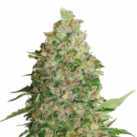 BCN Critical XXL Feminised | Seed Stockers