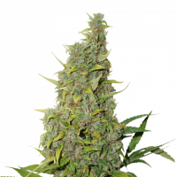 BCN Power Plant Auto Feminised Cannabis Seeds | Seed Stockers