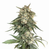 BCN Critical XXL Fast Feminised Cannabis Seeds | Seed Stockers
