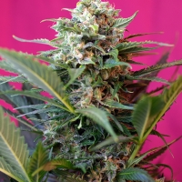 Big Devil XL Auto Feminised Cannabis Seeds | Sweet Seeds
