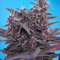 Auto Black Cream Feminised Cannabis Seeds | Sweet Seeds