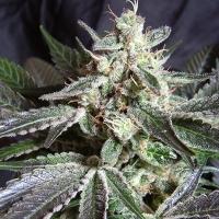 Black Jack Fast V Feminised Cannabis Seeds | Sweet Seeds