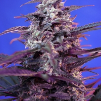 Auto Bloody Skunk Feminised Cannabis Seeds | Sweet Seeds