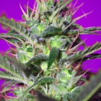 Botafumeiros Feminised Cannabis Seeds | Sweet Seeds