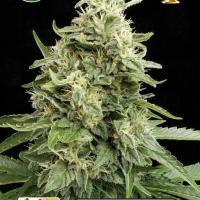 Amnesia Auto Feminsed Cannabis Seeds | Kera Seeds