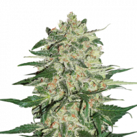 Big Bud Feminised Cannabis Seeds | Seed Stockers