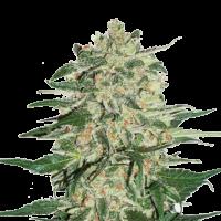 Big Bud Auto Feminised Cannabis Seeds | Seed Stockers