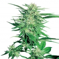 Big Bud Feminised Cannabis Seeds | Sensi Seeds