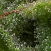 Strawberry Banana Feminised Cannabis Seeds   Big Head Seeds