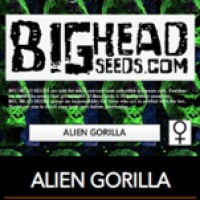 Alien Gorilla Feminised Cannabis Seeds | Big Head Seeds