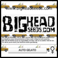 Auto Gelato Feminised Cannabis Seeds | Big Head Seeds