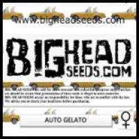 Auto Gelato Feminised Cannabis Seeds | Big Head Seeds