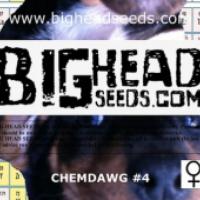 Chemdawg #4 Feminised Cannabis Seeds | Big Head Seeds