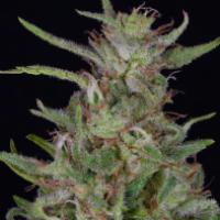 Tangie Feminised Cannabis Seeds | Big Head Seeds