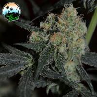 Biscotti Peach Feminised Cannabis Seeds - Cali Weed