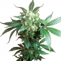 Black Domina Feminised Cannabis Seeds | Sensi Seeds
