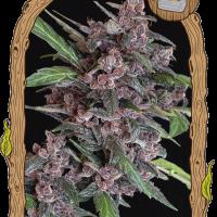 Black Lemon Auto Feminised Cannabis Seeds | Exotic Seeds
