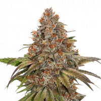 Blackberry Gum Feminised Cannabis Seeds | Seed Stockers