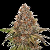 Blackberry Gum Feminised Cannabis Seeds | Seed Stockers