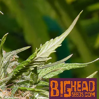 Gorilla Zkittelz Feminised Cannabis Seeds | Big Head Seeds