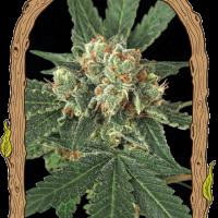 Blue Monkey Feminised Cannabis Seeds   Exotic Seeds