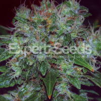 Blue Cheese Auto Feminised Cannabis Seeds | Expert Seeds
