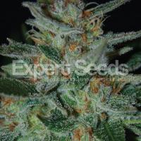 Blue Cheese Feminised Cannabis Seeds | Expert Seeds