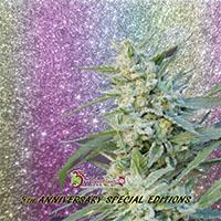 Blueberry Pot Tart Feminised Cannabis Seeds | Dr Krippling