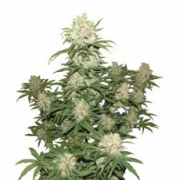 Auto Blueberry Feminised Cannabis Seeds | Concrete Jungle Seeds