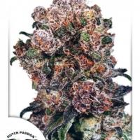 Blueberry Regular Cannabis Seeds | Dutch Passion