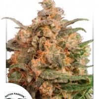 Dutch Passion Brainstorm Cannabis Seeds