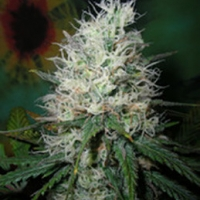 Afghani Dream Regular Cannabis Seeds | British Columbia