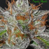 Bruce Banner #3 Feminised Cannabis Seeds - Anesia Seeds