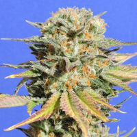 Bruce Banner #3 Feminised Cannabis Seeds | Original Sensible Seed Company