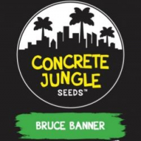 Bruce Banner Feminised Cannabis Seeds - Concrete Jungle Seeds