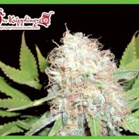 Bud Bud Bling Tingz Feminised Cannabis Seeds | Dr Krippling