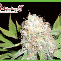 Bud Bud Bling Tingz Feminised Cannabis Seeds | Dr Krippling