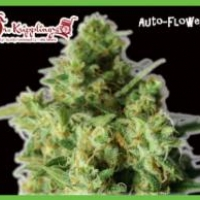 Bulk Smash Auto Feminised Cannabis Seeds | Dr Krippling