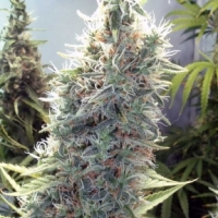 Buy Female Seeds C'99 Feminised Cannabis Seeds