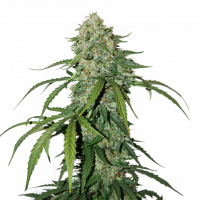 CBD 1:1 Silver Lime Haze Auto Feminised Cannabis Seeds | Seed Stockers