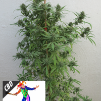 CBD Harlequin Feminised Cannabis Seeds | Kera Seeds