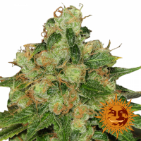 CBD Caramel Regular Cannabis Seeds | Barney's Farm