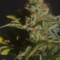Divine Regular Cannabis Seeds