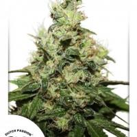 Dutch Passion CBD Kush Cannabis Seeds