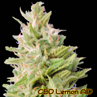 CBD Lemon AID Feminised Cannabis Seeds | The Original Sensible Seed Company