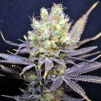 Nordle Feminised Cannabis Seeds