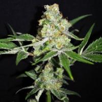 Outdoor Mix Feminised Cannabis Seeds | CBD Crew
