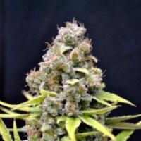 Shark Shock Feminised Cannabis Seeds